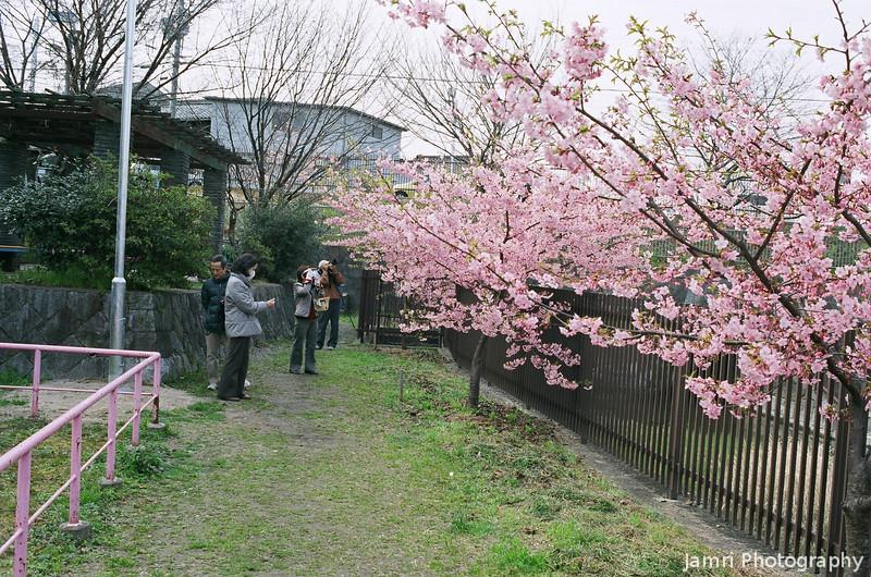 The Pink Sakura.<br /> These darker pink hybrid Sakura (cherry) blossomed about a month earlier than the regular lighter pink ones.<br /> Note Film Shot: Nikon F80 + Nikkor AF 35 f/2 + Fujicolor PRO400