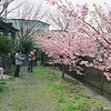 The Pink Sakura.<br /> These darker pink hybrid Sakura (cherry) blossomed about a month earlier than the regular lighter pink ones.<br /> Note Film Shot: Nikon F80 + Nikkor AF 35 f/2 + Fujicolor PRO400