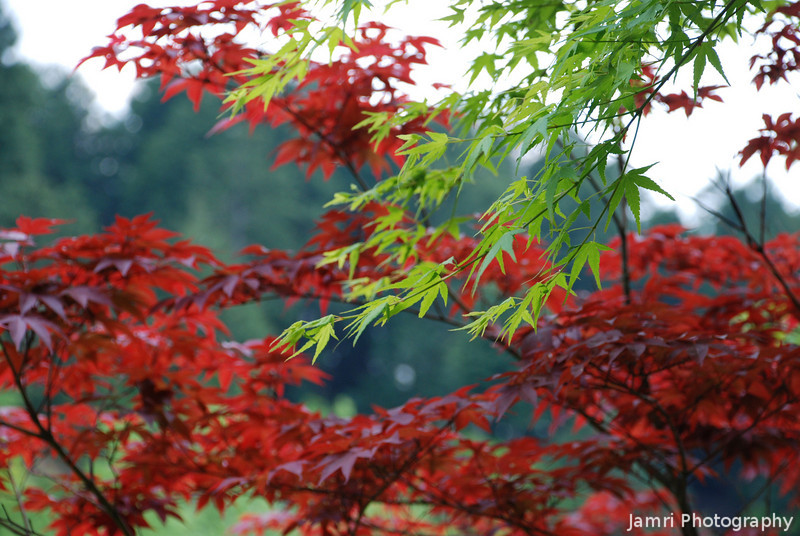 Green and Red.<br /> The fresh green spring leaves of the regular Japanese maple in the foreground. Behind are a different type of maple which leaves start as red.