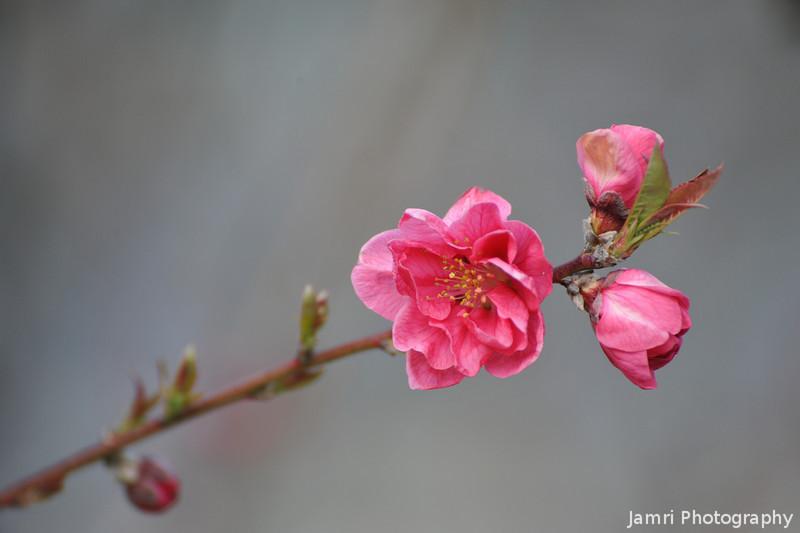 Momo (Peach) Blossom.