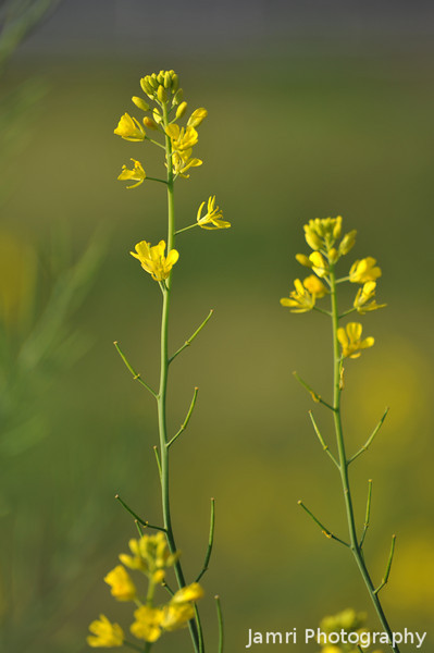 A Pair.<br /> Two Nanohana (Rapeseed) flowers.