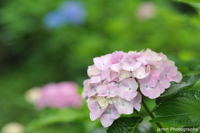 Light pink Hydrangea.