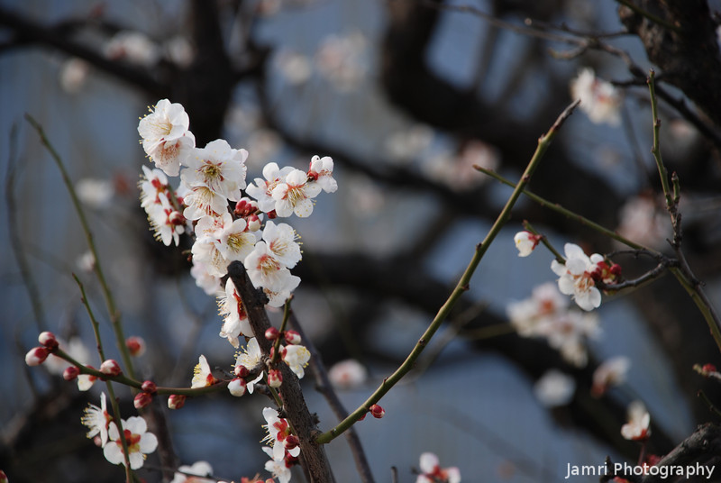 The first of the blossoms.<br /> The Ume (plum) blossoms are the first in a sequence heralding the coming of spring and warmer weather. The next is the Momo (peach), followed by the apricot, and finishing with the most spectacular of all the Sakura (or Cherry) blossoms.
