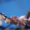A Row of Pink.<br /> Ume (Plum) Blossoms.