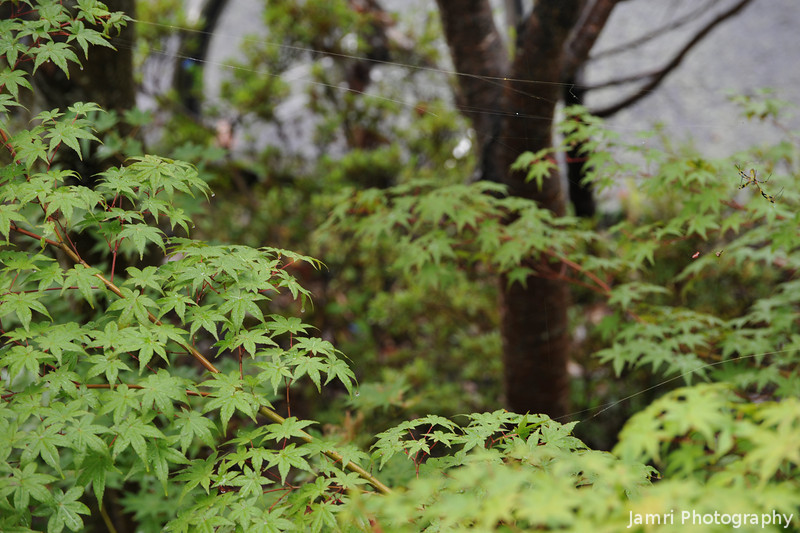 Maple leaves next to the house.