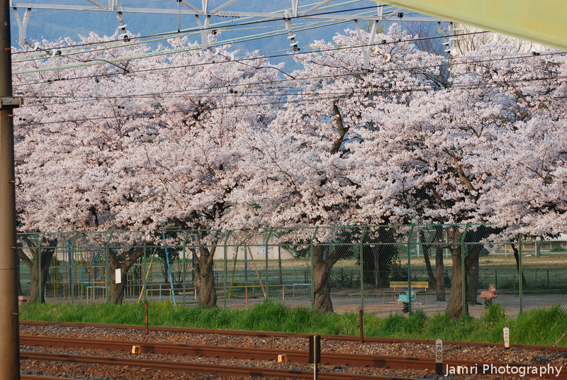Reflecting the sunrise.<br /> Sakura in a Park by the railway line reflecting the sunrise.