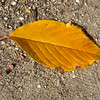 Fallen Leaf.<br /> From a Sakura (cherry blossom) tree.