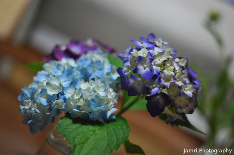 A Close Up of the Hydrangea Blooms.