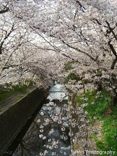Streaming with Sakura.<br /> During the peak of the Sakura bloom in Nagaokakyo.