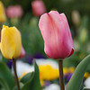 Tulips.<br /> There always seems to be tulips in bloom in parks across Japan at the same time as the Sakura.