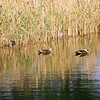 Two Ducks by the Reeds.<br /> Note Film Shot: Nikon F80 + 70-300VR lens + 2 years expired Centuria 100 DNP (probably made by Kodak since made in USA and same process code: C-41)