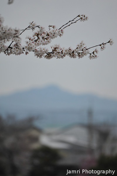 Sakura and Mt Atago.