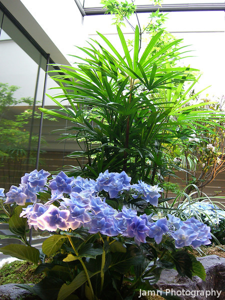 Very Early Blooming Hydrangeas.<br /> Because they are in a glass box in the Kyoto Takashimaya building.
