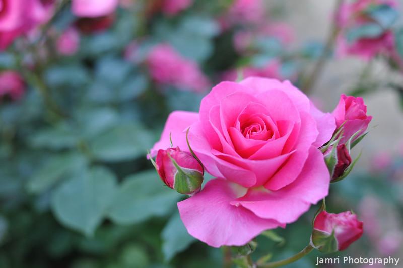 Pink Rose.<br /> At the Kyoto Botanical Gardens.