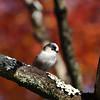 Little Bird in a Maple Tree.