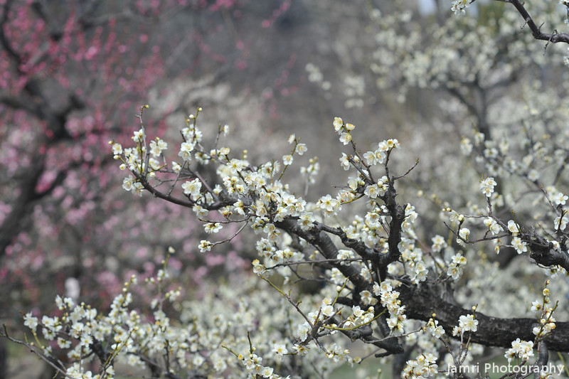Up close to the blooms.<br /> Ume (Plum Blossoms) in the grounds of Osaka Castle.
