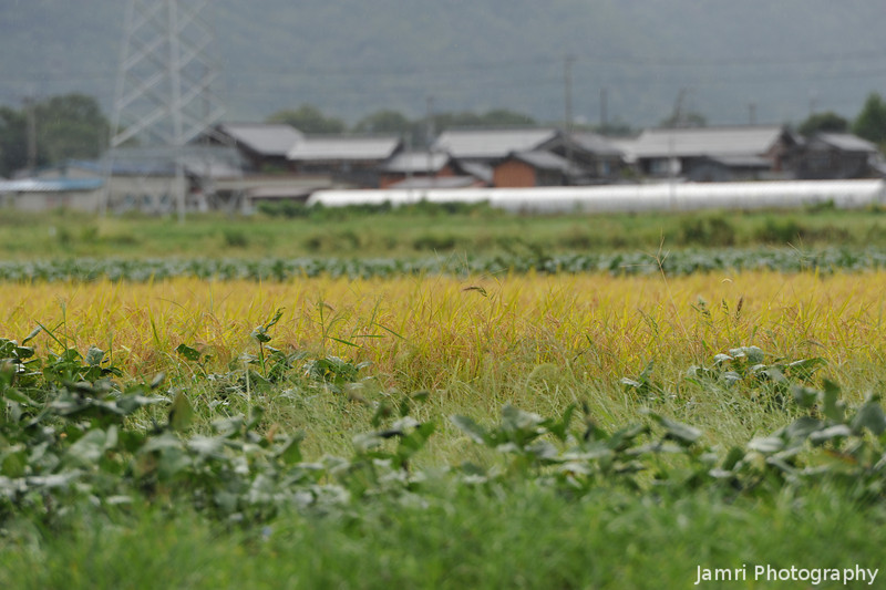 A low angle on a rice field.