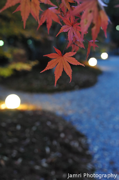 Maple Leaves in the Lit Up Garden.