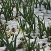 Daffodil shoots and a light snow cover.