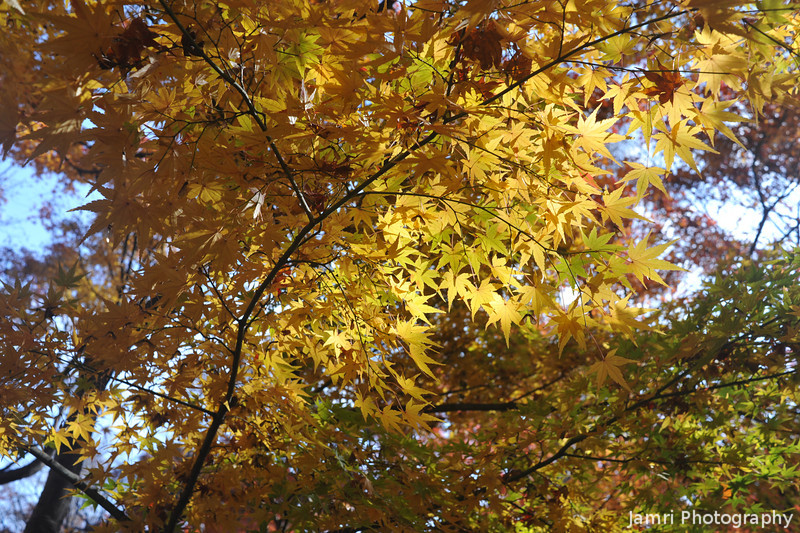 Yellow Maple Leaves.