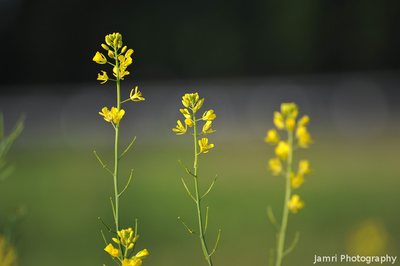 Green and Gold.<br /> Nanohana (Rapeseed) Flowers.