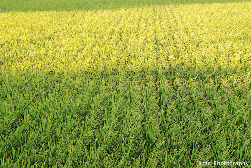 Rice Field in the Late Afternoon.