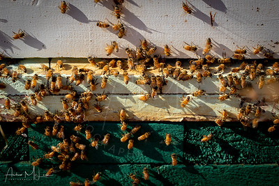 Bees-9