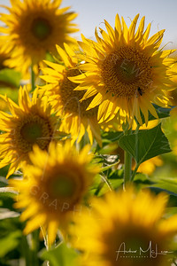 Sunflowers-19