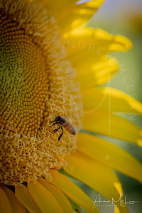 Sunflowers-8