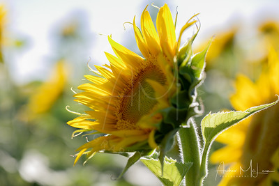 Sunflowers-10