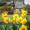 Daffodils in Edinburgh