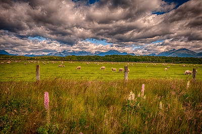 Sheep in Fiordland: Te Anau, NZ