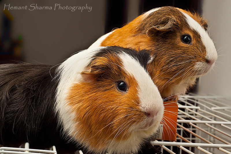 Blackie and Brownie................our cute little guinea pigs.......