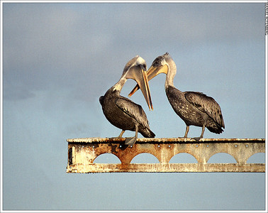 Crossed pelicans-18