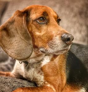 Hound Dog Alert