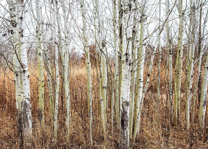 Birch....