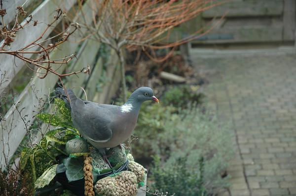 2008-01-20 duif in de achtertuin