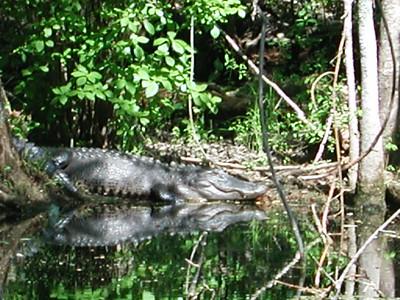 alligator canal