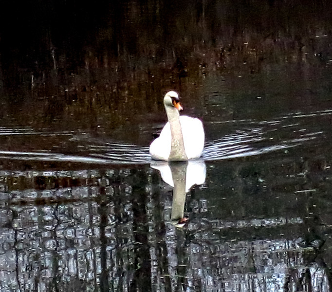 Swan in private pond off Long Ridge