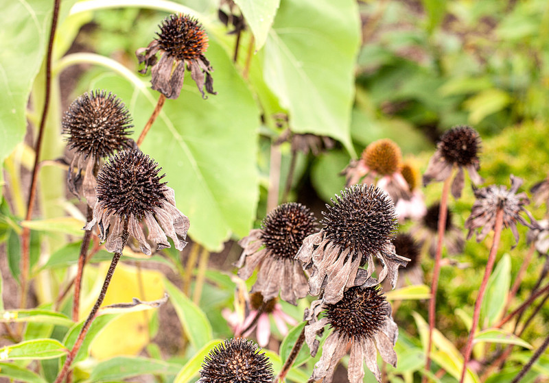 Echinacea gone to seed in front of Mrs Green's Natural Foods - post processed using Adobe Photoshop