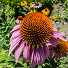Flowering echinacea in front of Mrs Green's Natural Foods