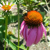 Bumblebee and flowering echinacea in front of Mrs Green's Natural Foods