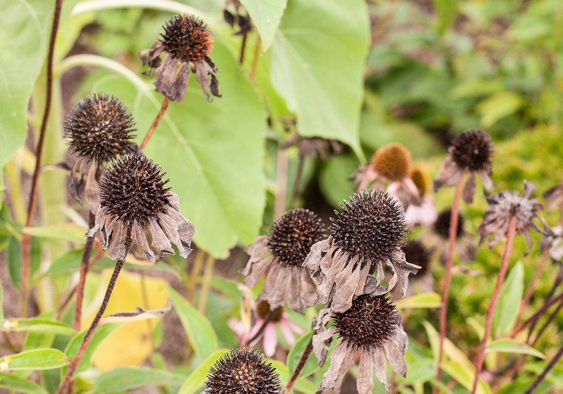 Echinacea gone to seed in front of Mrs Green's Natural Foods