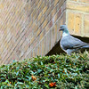 I detest wood pigeons -- they tease the cats relentlessly.