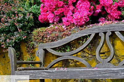 Old bench and roses