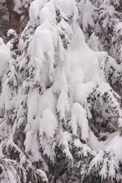 19 Rock Hill Rd - Bedford, NY - Snow on Hemlocks