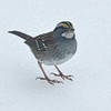 19 Rock Hill Rd - Bedford, NY - White Throated Sparrow