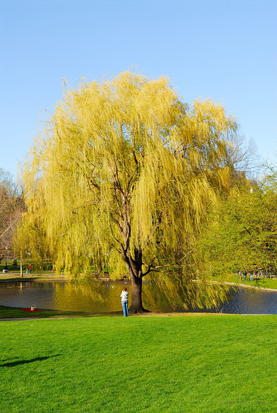 Boston Common and the Weeping Willow
