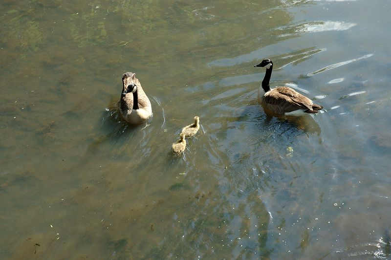 Back Bay Fens<br/> Geese