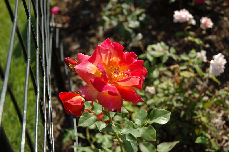 Back Bay Fens<br/> Rose Garden (3
